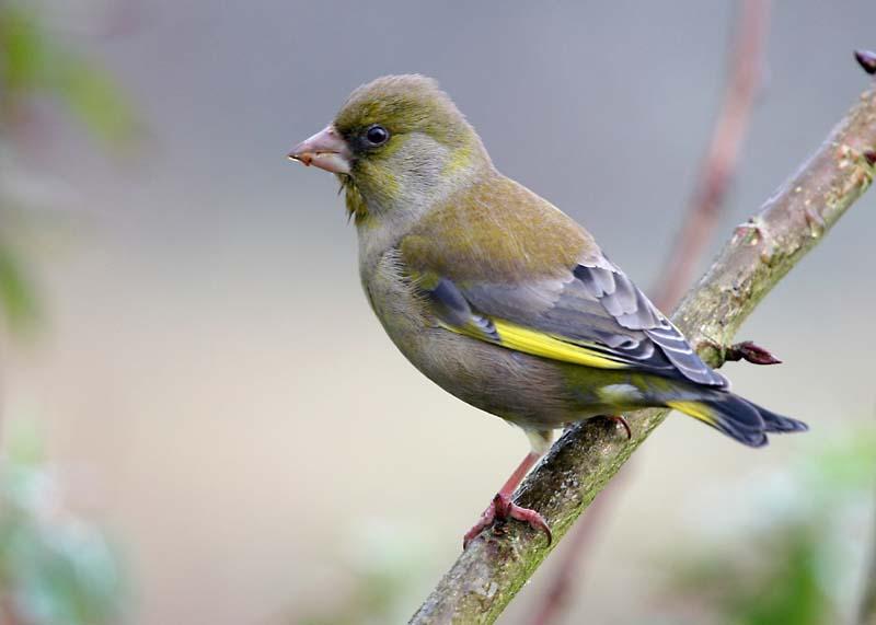 green-finch