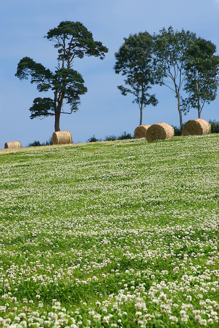 hay-meadow