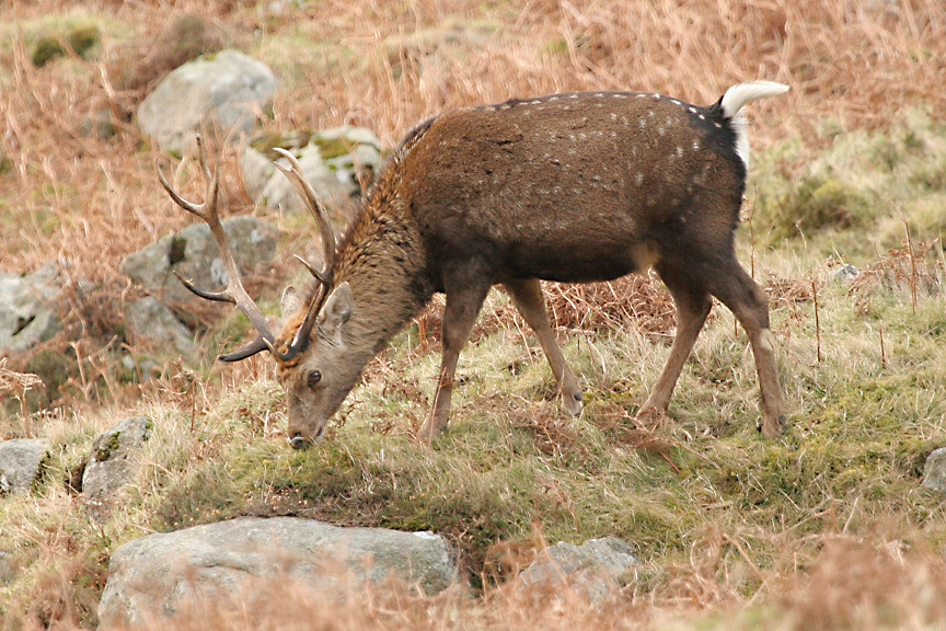 hybrid-stag
