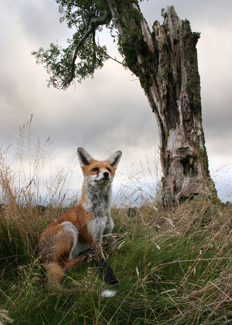 mountain-fox