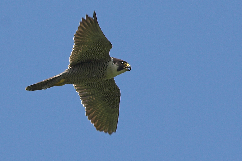 peregrine-flying