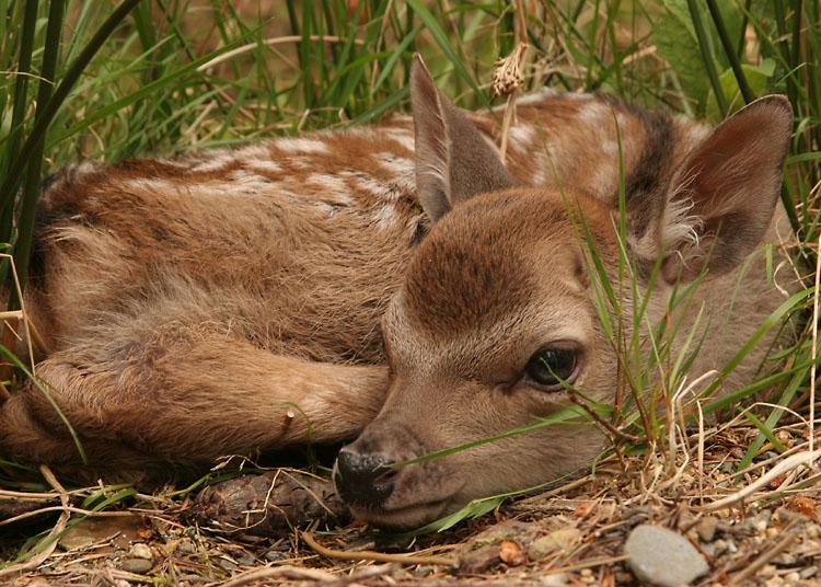 sika-calf