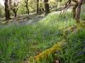 derrybawn-bluebells