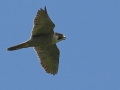 peregrine-flying