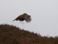 red-grouse