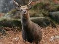 sika-stag