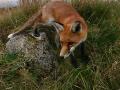 stalking-fox