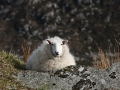 wicklow-sheep