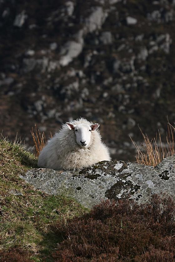 wicklow-sheep